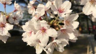 兼六園 桜 無料開放
