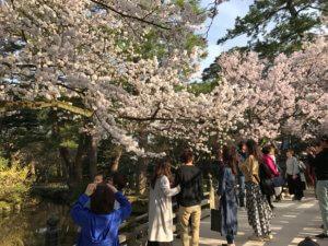 兼六園 お花見 桜